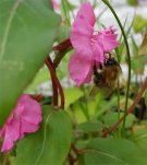 Carder Bee on flower