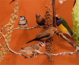 Foreign Finches enjoying Anjou Millet
