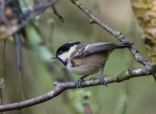 Coal Tit by David Evans