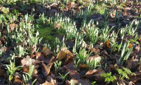 Snowdrops (Candlemas Bells)