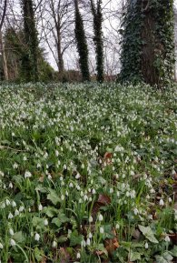 Snowdrops by Otterspool