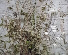 Dunnock in Magnolia