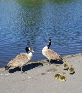 Canadian Geese young