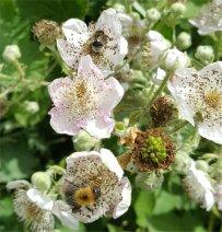 Bees on bramble