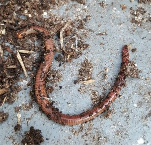 tiger worm