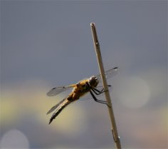 Yellow Darter