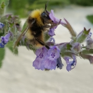 Male Early Bumblebee