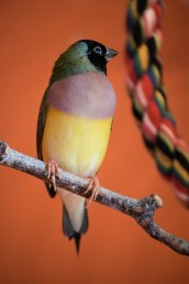 Rize the Lady Gouldian Finch