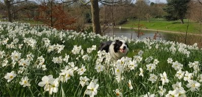 Riley and daffodils