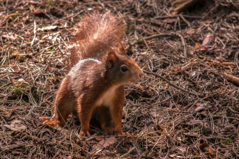 Red Squirrel by David Evans