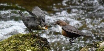Dipper feeding young