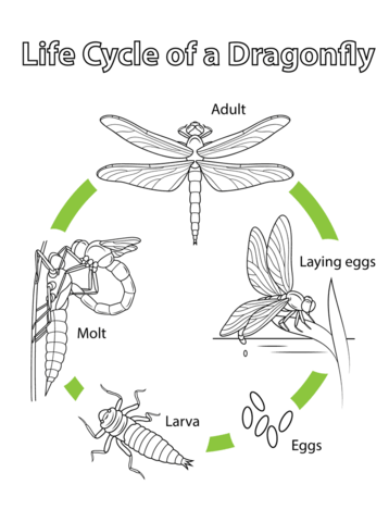 life-cycle-of-a-dragonfly-coloring-page