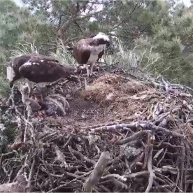 Loch of Lowes Osprey