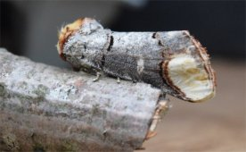 Buff Tip Moth - David Evans