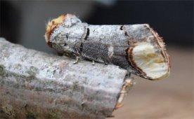 Buff Tip Moth - David Evans