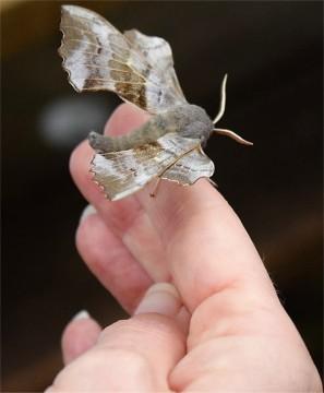 Popular Hawk Moth - David Evans