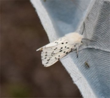 White Ermine Moth - David Evans