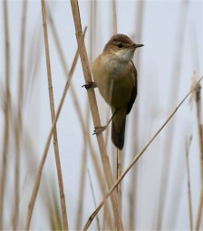 Willow Warbler - David Evans