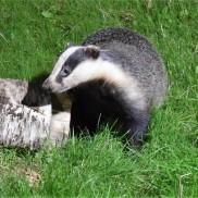 Gremlin the badger