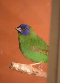 Forrest - blue-faced parrot finch