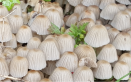 Pleated Inkcap Mushrooms