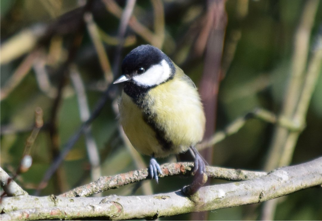great tit 1