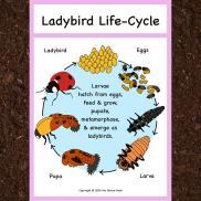 Ladybird lifesycle