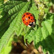 Halequin Ladybird