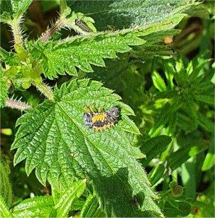Ladybird larvae