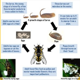 Hoverfly life cycle