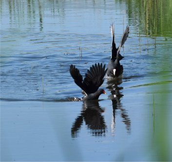 Coot and Moorhen fighting