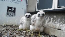 peregrine chicks jack perks-alamy stock photo